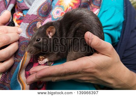 Home Rat Is Sitting On The Girl's Hands
