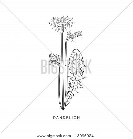 Dandelion Medical Herb Hand Drawn Realistic Detailed Sketch In Beautiful Classic Herbarium Style On White Background