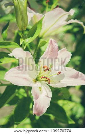 Pink white lily on a colored background in the garden. Sunny day