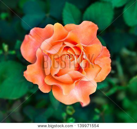 Flower orange rose on a natural background