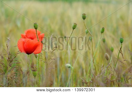 flower and capsules of red poppy among the field in the summer