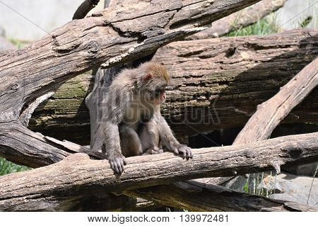 A snow monkey sitting on the branch