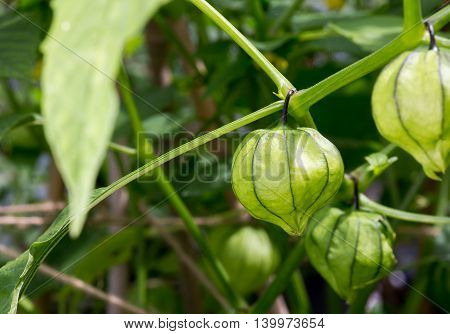 Tomatillo Young Organic Plant Physalis Philadelphica