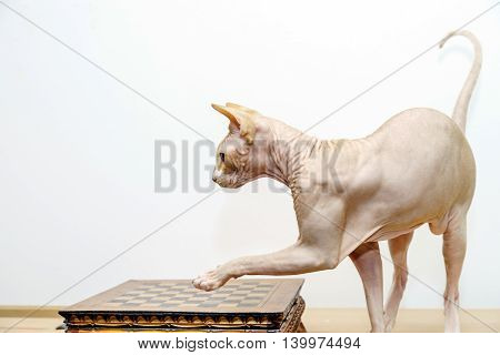 Beautiful Sphynx Cat Portrait On White Background