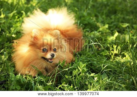 Cute fluffy dog on green grass