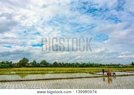 Rice paddies in the Thailand countryside being planted with new young plants