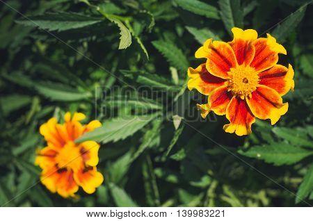 Flowers field Tagete. background of flowers tagetes. Flowering marigolds .Tagetes erecta. Gold marigold closeup