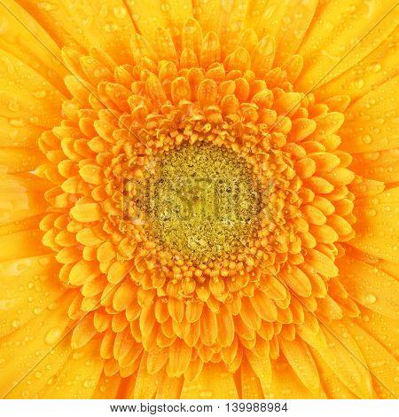 beautiful yellow gerbera flower petals, macro shot