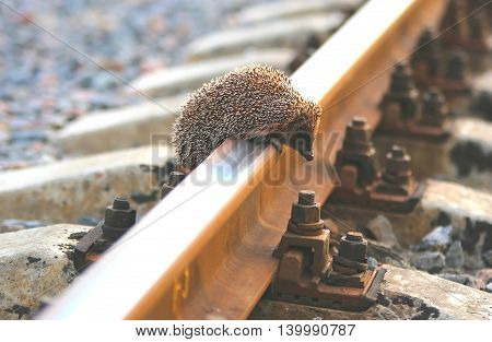 Cute European hedgehog climbing on the railway