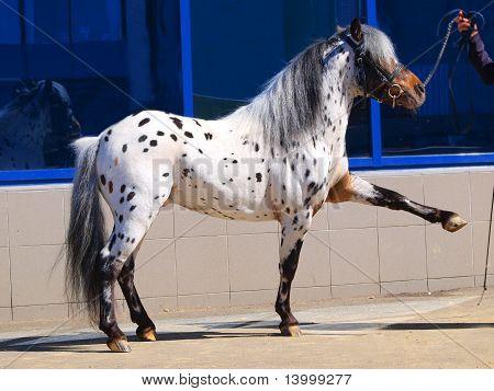 pony appaloosa