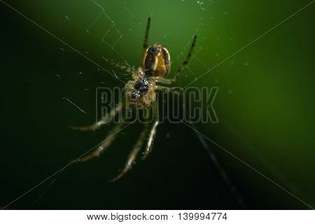 Spider sitting in ambush waiting for prey in its network macro.