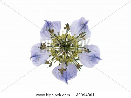 beautiful spring blue flower on white background