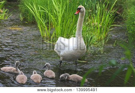 White swan mum with babies swimming in the water