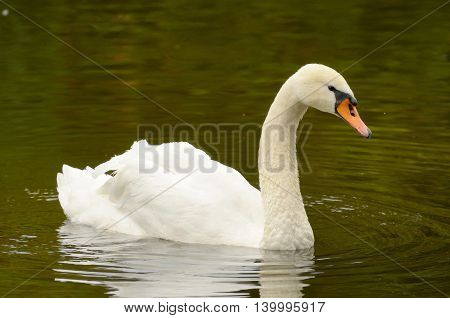 In the Park on the lake floats a lone Swan.
