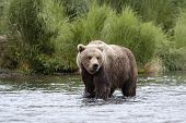 stock photo of bear-cub  - Brown Bear Standing In Brooks River Alaska - JPG
