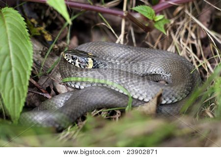 Grass Snake In Forest Environment