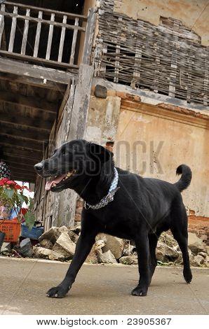 Black Dog Labrardor Walk Old Town