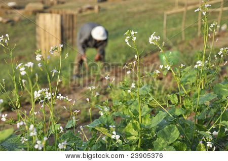 Farmer Man Garden Vegetable Thailand