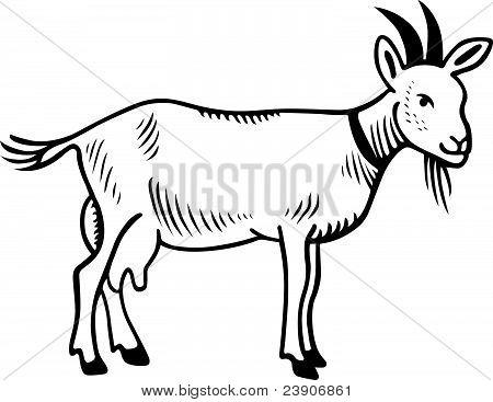 Cabra doméstica