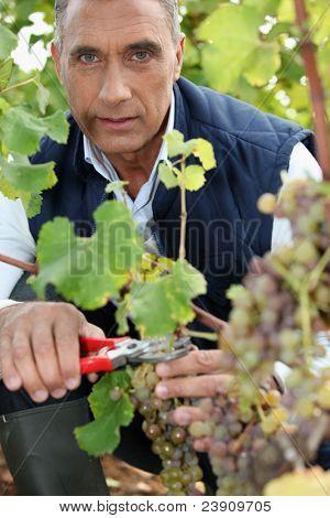 mature wine-grower harvesting