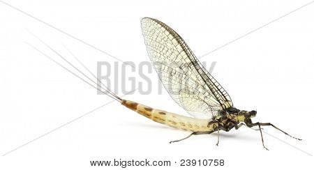 Mayfly, Ephemera danica, in front of white background
