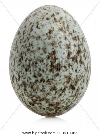 Huevo de gorrión, Passer domesticus, frente fondo blanco