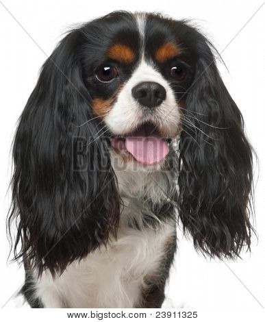 Close-up of Cavalier King Charles Spaniel, 3 years old, in front of white background