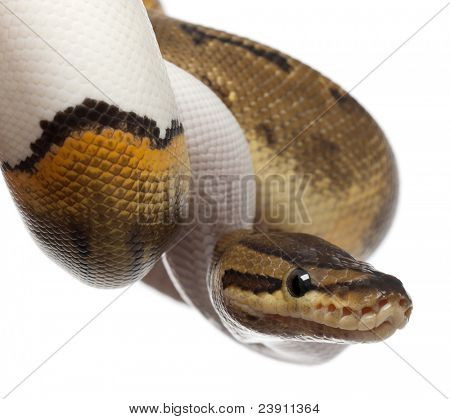 Close-up of Female Pinstripe Pied Royal python, ball python, Python regius, 14 months old, in front of white background
