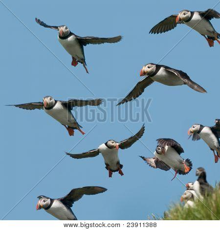 Papageitaucher oder gemeinsame Puffin, Fratercula Arctica im Flug auf Mykines, Färöer
