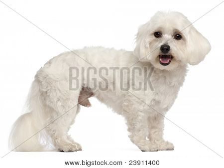 Maltese, 3 years old, standing in front of white background