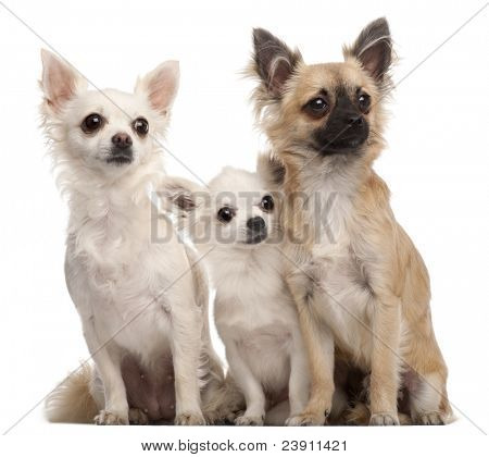 Three Chihuahuas, 5 years old and 8 months old, sitting in front of white background
