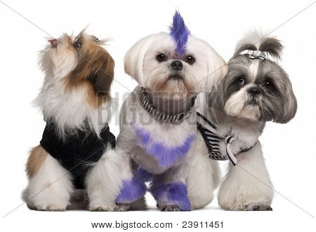 Group of dressed and groomed Shih-tzu's in front of white background