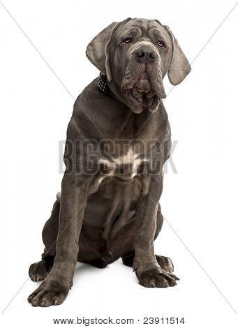 Neapolitan Mastiff puppy, 6 months old, sitting in front of white background