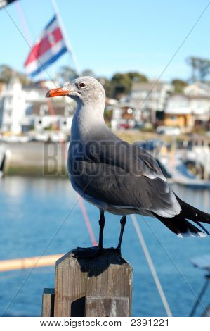 Pensive Gull