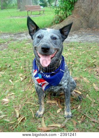 buddy the Blueheeler on Australia day