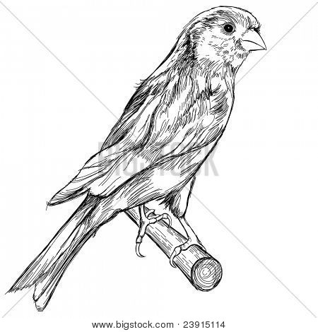 Black and white sketch of a canary bird sitting on a branch. Bitmap copy my vector ID 69277360