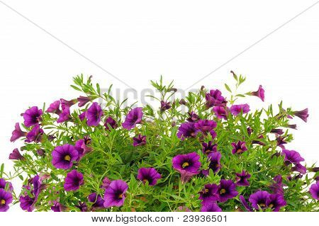 Petunia Surfinia flowers over white background