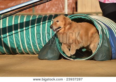 Golden Retriever At A Dog Agility Trial