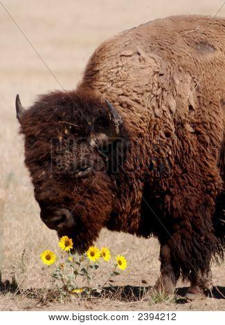 buffalo smelling flowers in a meadow