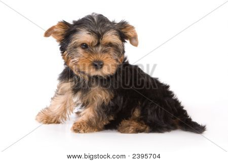 Yorkshire Terrier (Yorkie) Puppy Sitting On A White Background.