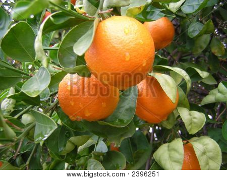 Oranges With Rain Drops