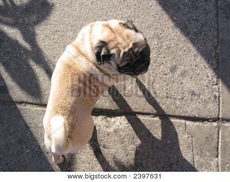 Pug And Shadows