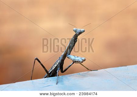 Praying Mantis, Male with Folded Legs