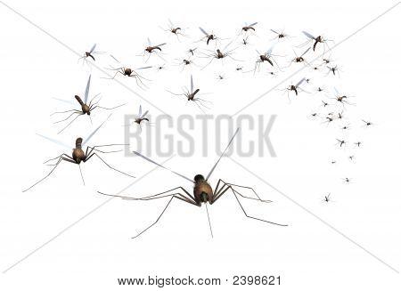 Mosquito Swarm