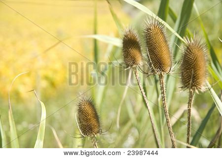Bullrush In The Fall