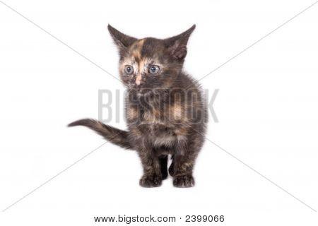 Standing Spotty Kitten
