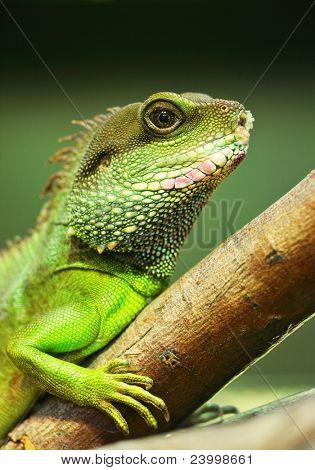 green iguana on tree branch