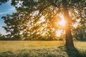 Sun Shining Through Greenery Oak Foliage In Green Park. Summer Sunny Forest Trees And Green Grass. N poster