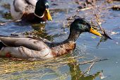 A Pair Of Mallard Drakes Swimming On Water poster