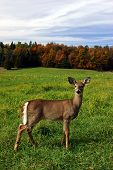 pic of backwoods  - a female deer is standing in a field on a colorful fall day in quebec - JPG